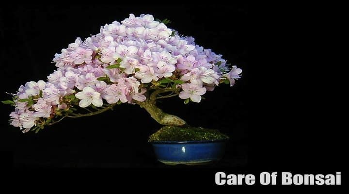 How To Take Care Of A Bonsai Tree (Complete Beginner's Guide)