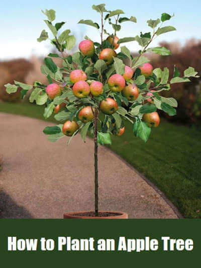 How to Plant an Apple Tree